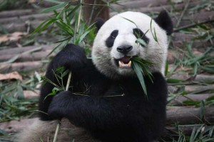 Giant_Panda_Eating