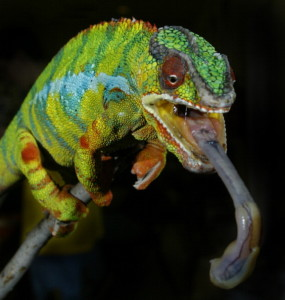 A Picasso Panther Chameleon recently dis