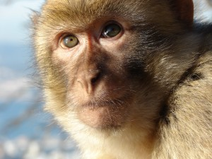 gibraltar-macaque